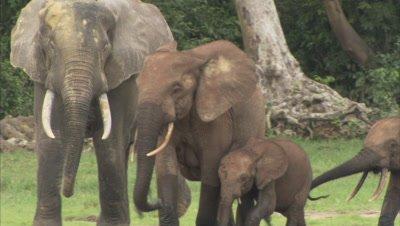 African Elephants, including calves, Walking Near Forest