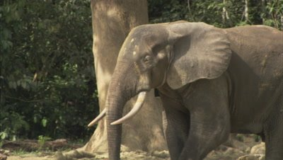 African Elephant at Edge of Forest