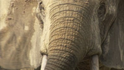 African Elephants Gather at Edge of Forest