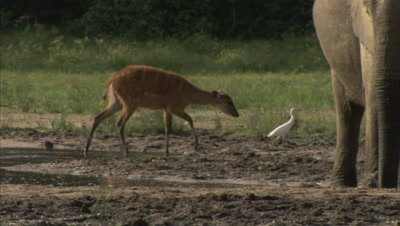 Antelope among elephants, Possibly a Sitatunga, Walks in Watering Hole, follows bird
