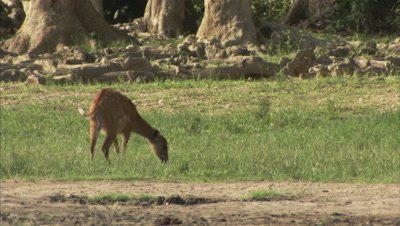 Antelope, Possibly a Sitatunga Walks in Grass