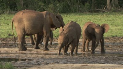 African Elephants at water hole, Calf Drinking Water