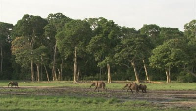 Wide Shot Of African Elephants at watering hole near forest