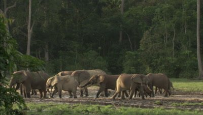 Herd of African Elephants at watering hole near forest