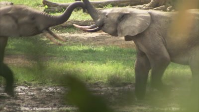 African Elephants Fighting a water hole