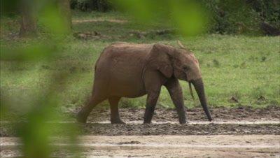 Elephant calf walks into watering hole