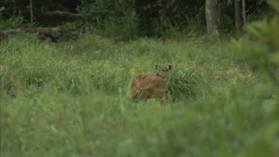 Antelope, Possibly a Sitatunga, Grazes near forest, runs away