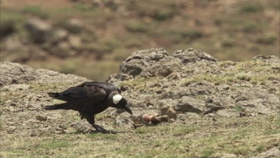 Thick-billed Raven feeds on Carcass