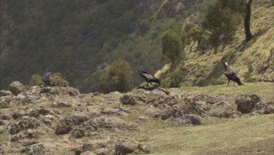 Thick-billed Ravens feeding on carcasses