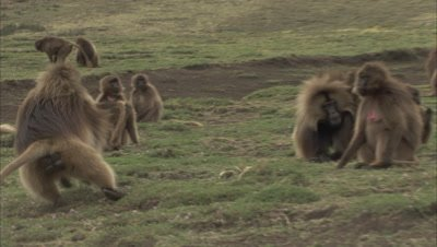 Dominant Male Gelada Monkey Chases others