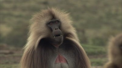 Dominant Male Gelada Monkey Portrait, Good View of red breast