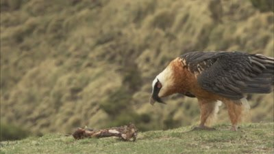 Bearded Vulture Approaches, picks up bone of carrion