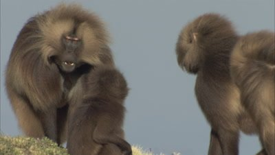 Male Gelada Monkey Joins others, inimidating
