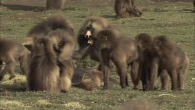 Male Gelada Monkeys Fight