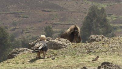 Gelada passes by feeding Bearded vulture