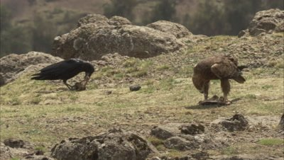 Bearded vulture And Crow or raven feeding, vulture chases