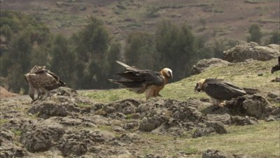 Bearded vulture Lands to join others feeding on cliff