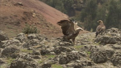 Group of Bearded vultures, one takes off