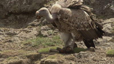Vulture Feeding, Possibly Rüppell's vulture