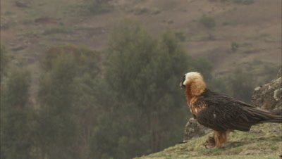 Bearded Vulture Takes off with food, bone in talons