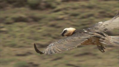 Bearded vulture Flying, soaring