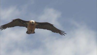 Bearded Vulture Flies, Drops Bone from talons