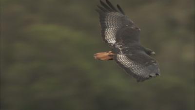 Bird of prey flies, possibly augur buzzard