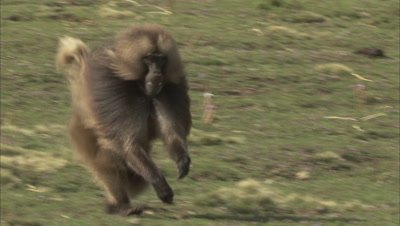 Male Gelada Runs, joins others