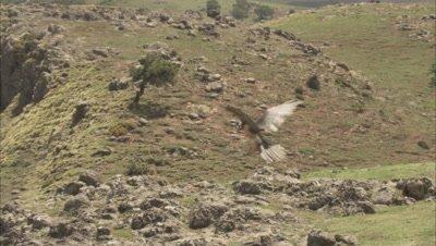 Bearded vulture Landing On Ground