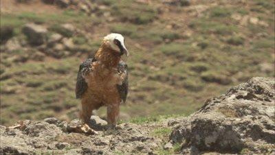 Bearded vulture Walking On Rocks