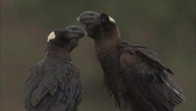 Thick-billed Ravens In Rain
