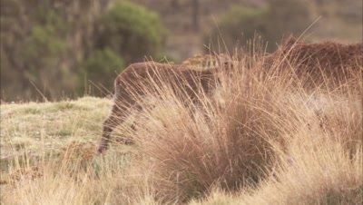 Ibex Walk in grass, Possibly Walia ibex