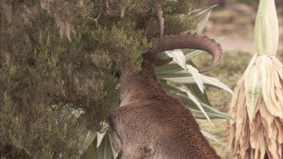 Ibex, Possibly Walia ibex, Stands on hind legs to feed, grazes on ground