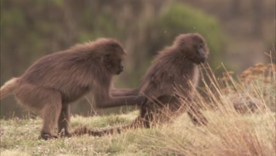 Young Geladas Fighting, Ibex pass through