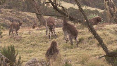 Young Ibex Play Near Geladas