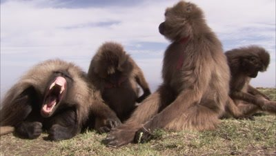 Gelada Monkeys Groom at Edge of Cliff
