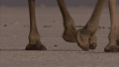 Danakil Cameleer Leads Camels Carrying Salt from Mines, Close up of feet