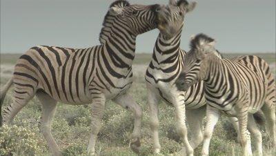 Slow Motion, Zebras Fighting
