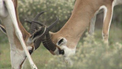 Close up, Two Springboks Fighting, locking horns