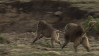 Gelada Monkeys running