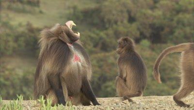 Geladas Sitting On Cliff, Male Walks, Grooms Female