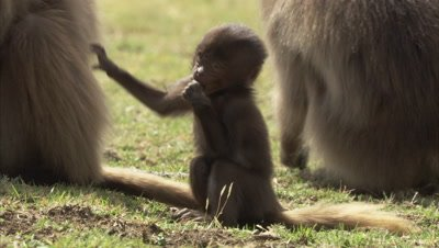 Young Gelada Playing
