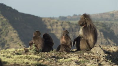 Geladas sit on Cliff Edge