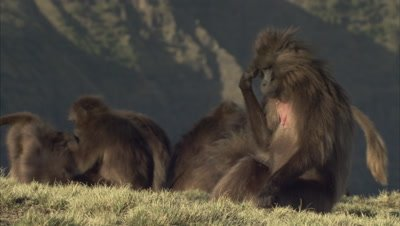 Gelada Monkeys Grooming