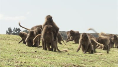 Gelada Monkeys Fighting or Playing