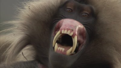 Gelada Display, Flips Upper Lip Up, Vocalizes