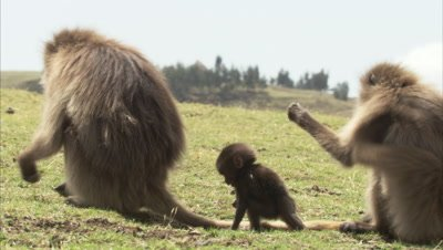 Gelada Monkeys with Tiny Baby