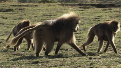 Gelada Monkeys Walk Over Grass, Some Carrying Babies