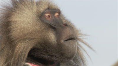 Gelada Monkey Portrait, threat display by curling upper lip
