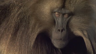 Gelada Monkey Portrait